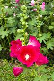 Dark pink Hollyhocks flower in the garden — Stock Photo