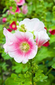 Hollyhocks flower in the garden — Stock fotografie
