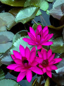 Dark pink water lily in the porn with leaf — Stockfoto