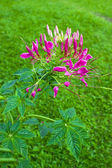 Pink Cleome flower — Stock fotografie