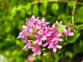 Pink Ixora flower in garden — Stock Photo