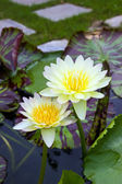 Two yellow water lily in pond — Stock Photo