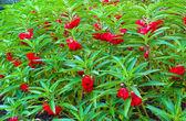 Red Garden Balsam, Impatiens Balsamina Linn flower — Stock fotografie