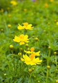 Yellow cosmos flower in green field — Stock Photo