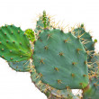 Green Cactus isolated — Foto Stock #40704085