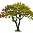 Royal Poinciantree with red flower — Foto Stock #40705977