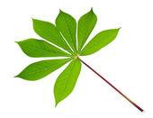 Cassava leaf — Stock Photo
