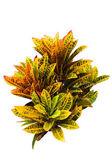 Garden Croton — Stock Photo