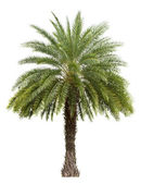 Old Date palm tree isolated on white — Stock Photo