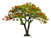 Royal Poinciana tree with red flower — Stock Photo