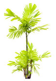 Young MacArthur Palm tree isolated — Stock Photo