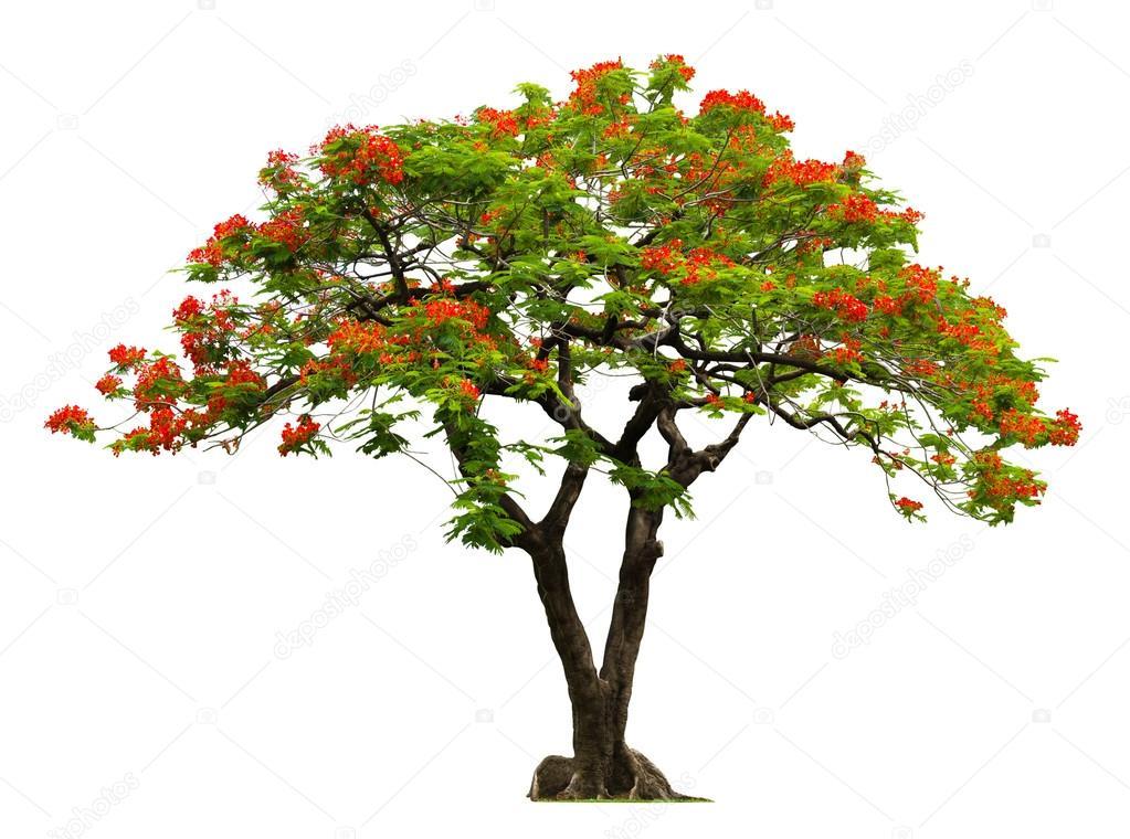 Arbre royal poinciana avec fleur rouge photographie nbriam 40705977 - Arbres a fleurs rouges ...
