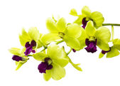 Green orchid isolated on white — Foto Stock