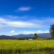 Green Rice field in Chiangmai — Stock Photo