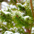 Stock Photo: Pine, fir tree branches with snow