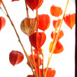Fresh physalis bouquet — Stock fotografie