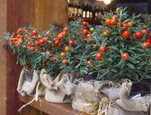 Decorative pots with ornamental coral nightshade (solanum pseudo — Stock Photo
