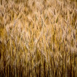 Stock Photo: Close up ripened wheat