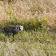 Badger young Saskatchewan — Stock Photo