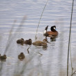 Ruddy Duck and Babies — Photo