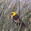 Stock Photo: Yellow Headed Blackbird