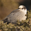 Baby Gray Jay — Stock Photo