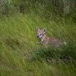 Stock Photo: Baby Coyote Cub