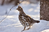 Spruce Grouse in Winter — Stock Photo
