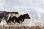 Striped skunk in winter — Stock Photo