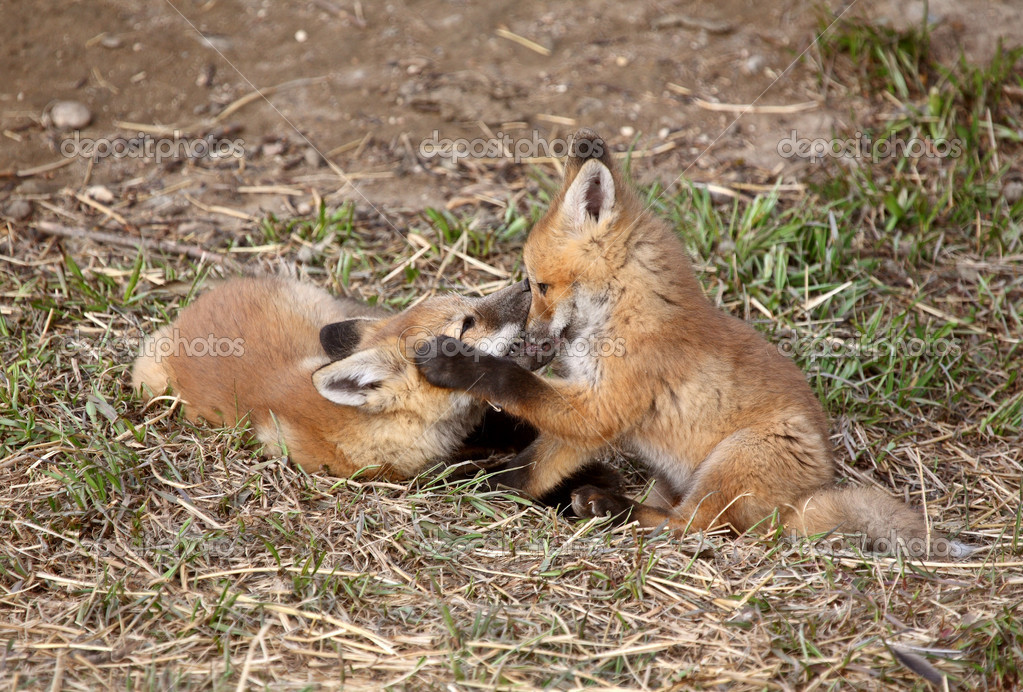 how to find a red fox den