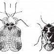Left - Hemiptera Heteroptera, tiger bug or lace bug, Right - Nez — Stockvektor