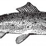 Постер, плакат: Salmon vintage engraving
