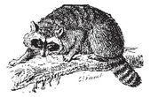 Raccoon or Common Raccoon, vintage engraving. — Stock Vector