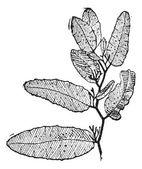 Sargasso or Sargassum vintage engraving — Stock Vector