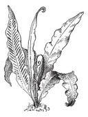 Hart's Tongue Fern or Asplenium scolopendrium, vintage engraving — Wektor stockowy