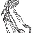 Skeleton of Orangutan vintage engraving - Stockvectorbeeld