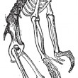 Skeleton of Chimpanzee or Chimp vintage engraving - Imagen vectorial