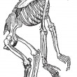 Skeleton of Gorilla vintage engraving — Stockvektor