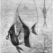 Moorish Idol or Zanclus cornutus, vintage engraving — Stock Photo #13657492