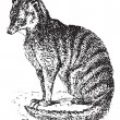 Meerkat or Suricate, vintage engraving. — Stockvectorbeeld