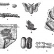 Vector de stock : Silkworm or Bombyx mori, vintage engraving