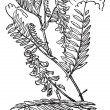 Tufted Vetch or Vicicracca, vintage engraving — стоковый вектор #13669410
