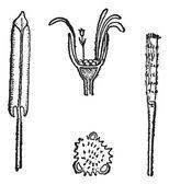 Coltsfoot veya tussilago farfara, antika gravür — Stok Vektör
