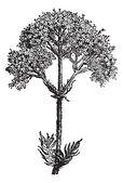 Valerian (Valeriana officinalis) or garden valerian, vintage eng — Stock Vector