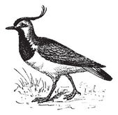 Vanellinae or crested lapwing, vintage engraving. — Stock Vector