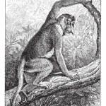 Kahau or proboscis monkey (Nasalis larvatus), vintage engraving. — Stock Vector