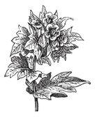 Henbane (Hyoscyamus niger) or stinking nightshade, vintage engra — Stock Vector