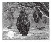 Kalong or Large Flying Fox (Pteropus vampyrus), vintage engravin — Stock Vector