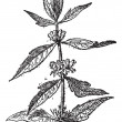 Royalty-Free Stock Vector Image: Motherwort or Leonurus cardiaca, vintage engraving