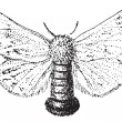 Gypsy Moth or Lymantria dispar, vintage engraving — ベクター素材ストック